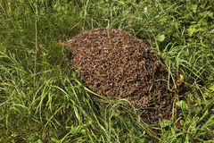 Anthill near Khokhlovka. Perm krai, Russia Stock Photo