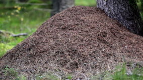 Anthill next to a big tree stock video footage