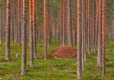 Anthill. An anthill in the old pine forest Royalty Free Stock Photos
