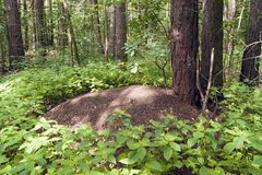 Anthill in the Pine Forest. A large anthill in a pine forest in summer, trees and green plants Royalty Free Stock Images