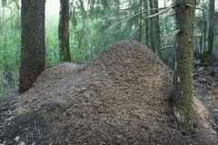 Anthill of red forest ants Royalty Free Stock Photos