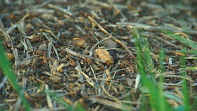 Anthill in the Spring Forest stock footage