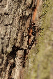 Anthill on a tree trunk Royalty Free Stock Photo
