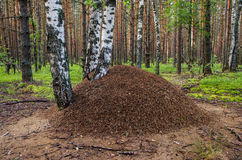 Anthill under the birch. In the pine forest Royalty Free Stock Image