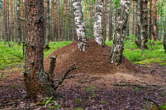 Anthill under the birch. In the pine forest Royalty Free Stock Photos