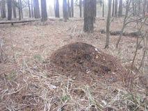 Anthill w drewnach Zdjęcie Royalty Free