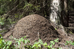 Anthill in the woods Royalty Free Stock Photography