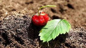 Anthill and workers ants insect life. strawberry berry close-up. Anthill and workers ants insect life. teamwork business. strawberry berry and ants great gift a