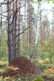 Anthill zakończenie przeciw tłu sosnowy las zdjęcia royalty free