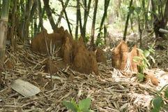 Anthills около бамбуковых деревьев на Varandha Ghats Пуна, махарастре, Индии стоковые изображения