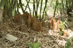 Anthills near Bamboo trees at Varandha Ghats Pune, Maharashtra, India.  stock images