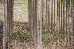 Anthocephalus Chinensis树 免版税库存图片