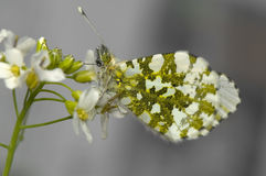 Anthocharis cardamines. A beautiful white butterfly on the white flower Royalty Free Stock Image