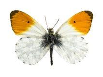 Anthocharis cardamines 库存照片