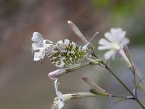 Anthocharis cardamines aka Orange Tip male butterfly on White Campion wild flower, Silene latifolia, camouflage closeup. Anthocharis cardamines aka Orange Tip royalty free stock image