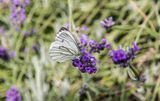 Anthocharis cardamines butterfly Stock Photo
