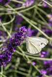 Anthocharis cardamines butterfly Royalty Free Stock Photo