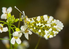 Anthocharis cardamines. Spring beautiful white butterfly Royalty Free Stock Photos