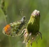 Anthocharis stella. Or stella orangetip butterfly stock photos