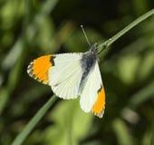 Anthocharis stella. Or stella orangetip butterfly royalty free stock photos