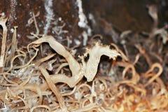 Anthodites Стоковое Изображение