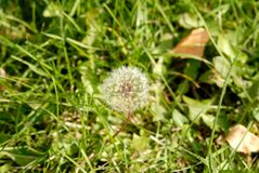 Anthodium of a dandelion stock photography