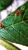 Anthologie, mieren op Bladeren stock afbeelding