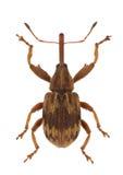 anthonomus rectirostris Στοκ Εικόνες