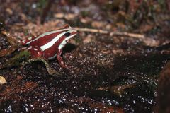 Anthony poison-arrow frog. On the soil royalty free stock photo