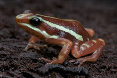 Anthony's poison arrow frog Stock Images