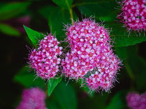 Anthony Waterer Spiraea Royaltyfria Bilder