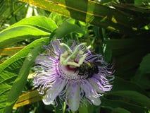 Anthophila (abeja) que se sienta en la flor de la planta de la pasionaria (flor de la pasión) Fotos de archivo libres de regalías