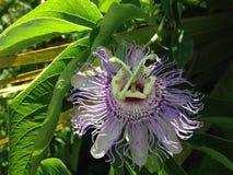 Anthophila (abeja) que se sienta en la flor de la planta de la pasionaria (flor de la pasión) Fotografía de archivo