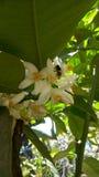 Anthophila i vita blommor royaltyfria bilder