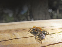 anthophora蜂plumipes 库存照片