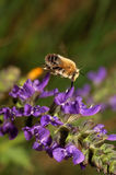 Anthophora plumipes Royalty Free Stock Images