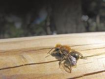 anthophora pszczoły plumipes Zdjęcia Stock
