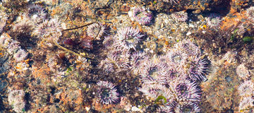 Anthopleura elegantissima, also known as the aggregating anemone Stock Photos