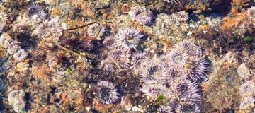 Anthopleura elegantissima, också som är bekant som den samla anemonen Arkivfoton
