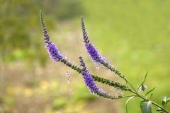 Anthotaxy porpora Fotografia Stock