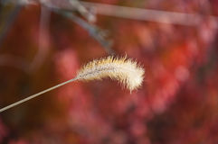 Anthoxanthum Stockbilder