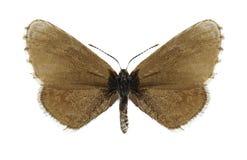 Anthracias Praephilotes πεταλούδων Στοκ φωτογραφία με δικαίωμα ελεύθερης χρήσης