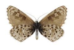 Anthracias Praephilotes πεταλούδων (underside) Στοκ φωτογραφίες με δικαίωμα ελεύθερης χρήσης