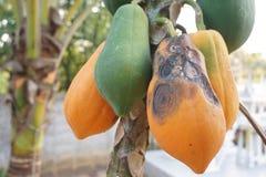Anthracnose in papaya fruit Royalty Free Stock Photo
