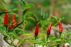 Anthracnose disease in chili Will result with biological pests and physiological disorders wilt disease caused Stock Photography