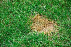 Anthracnose lawn, death of small areas of turf Royalty Free Stock Photos