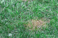 Anthracnose lawn, death of small areas of turf Royalty Free Stock Photo