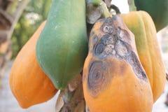 Anthracnose in papaya fruit Royalty Free Stock Image