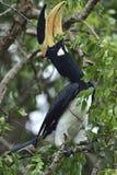 Anthracoceros coronatus, lesser pied hornbill Arkivfoto