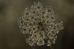 Anthriscus sylvestris. With dewdrops Royalty Free Stock Photography